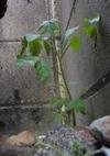 Tomato1_1